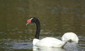 Cisne-de-cuello-negro